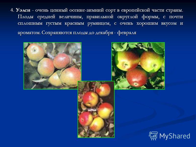 4. Уэлси - очень ценный осенне-зимний сорт в европейской части страны. Плоды средней величины, правильной округлой формы, с почти сплошным густым красным румянцем, с очень хорошим вкусом и ароматом. Сохраняются плоды до декабря - февраля