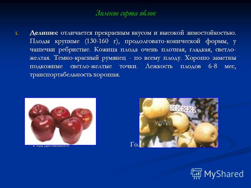 Зимние сорта яблок 1. Делишес отличается прекрасным вкусом и высокой зимостойкостью. Плоды крупные (130-160 г), продолговато-конической формы, у чашечки ребристые. Кожица плода очень плотная, гладкая, светло- желтая. Темно-красный румянец - по всему