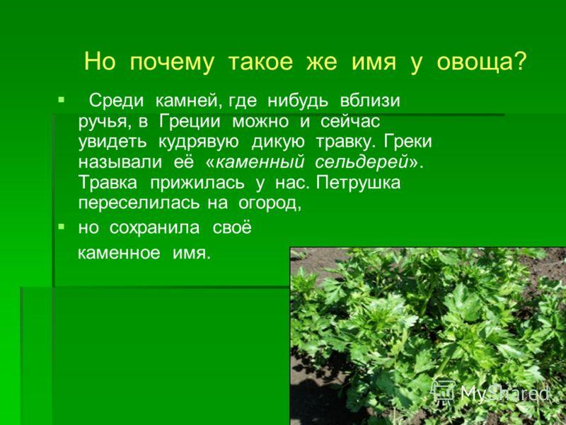 Но почему такое же имя у овоща? Среди камней, где нибудь вблизи ручья, в Греции можно и сейчас увидеть кудрявую дикую травку. Греки называли её «каменный сельдерей». Травка прижилась у нас. Петрушка переселилась на огород, но сохранила своё каменное