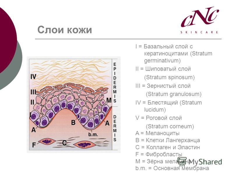 Слои кожи I = Базальный слой с кератиноцитами (Stratum germinativum) II = Шиповатый слой (Stratum spinosum) III = Зернистый слой (Stratum granulosum) IV = Блестящий (Stratum lucidum) V = Роговой слой (Stratum corneum) A = Меланоциты B = Клетки Лангер
