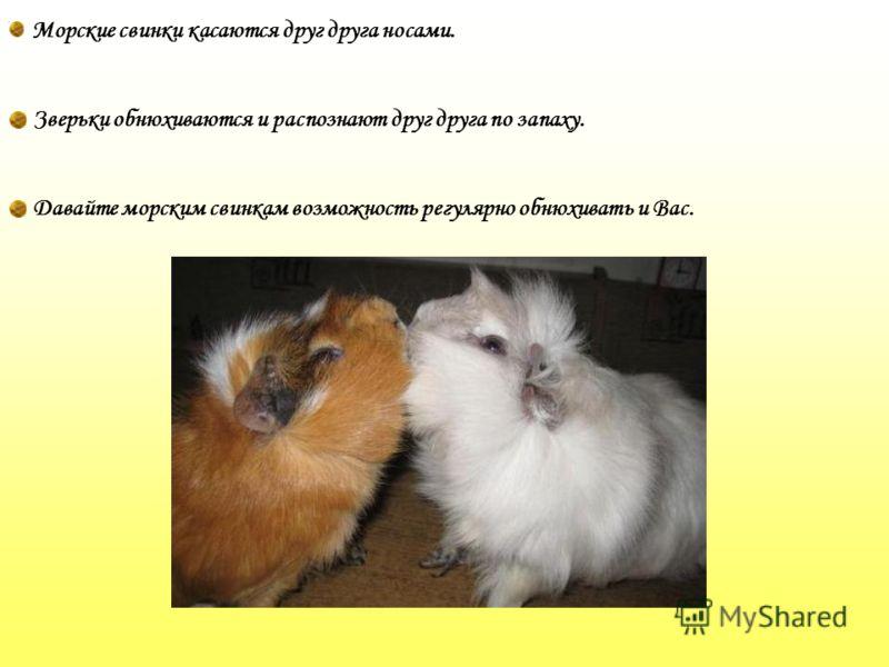 Морские свинки касаются друг друга носами. Зверьки обнюхиваются и распознают друг друга по запаху. Давайте морским свинкам возможность регулярно обнюхивать и Вас.