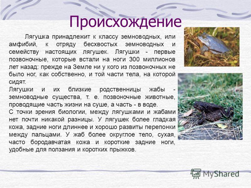 Происхождение Лягушка принадлежит к классу земноводных, или амфибий, к отряду бесхвостых земноводных и семейству настоящих лягушек. Лягушки - первые позвоночные, которые встали на ноги 300 миллионов лет назад: прежде на Земле ни у кого из позвоночных