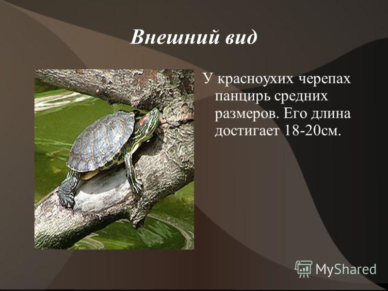 Внешний вид У красноухих черепах панцирь средних размеров. Его длина достигает 18-20см.