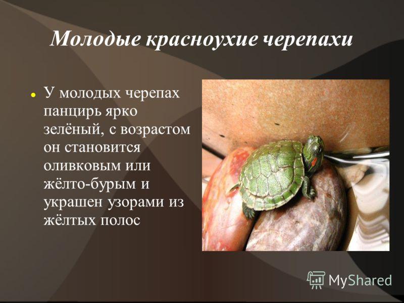 Молодые красноухие черепахи У молодых черепах панцирь ярко зелёный, с возрастом он становится оливковым или жёлто-бурым и украшен узорами из жёлтых полос