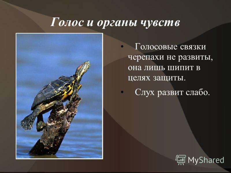 Голос и органы чувств Голосовые связки черепахи не развиты, она лишь шипит в целях защиты. Слух развит слабо.