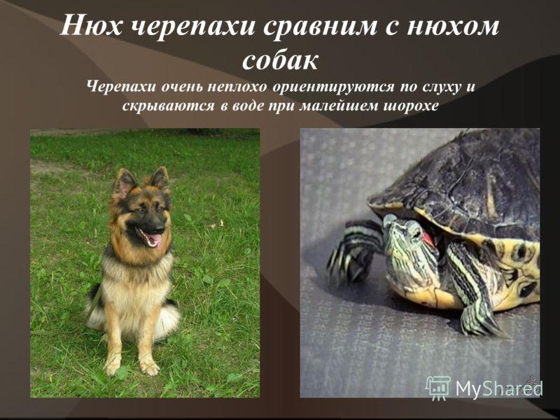 Нюх черепахи сравним с нюхом собак Черепахи очень неплохо ориентируются по слуху и скрываются в воде при малейшем шорохе