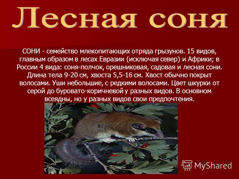 СОНИ - семейство млекопитающих отряда грызунов. 15 видов, главным образом в лесах Евразии (исключая север) и Африки; в России 4 вида: соня-полчок, орешниковая, садовая и лесная сони. Длина тела 9-20 см, хвоста 5,5-16 см. Хвост обычно покрыт волосами.