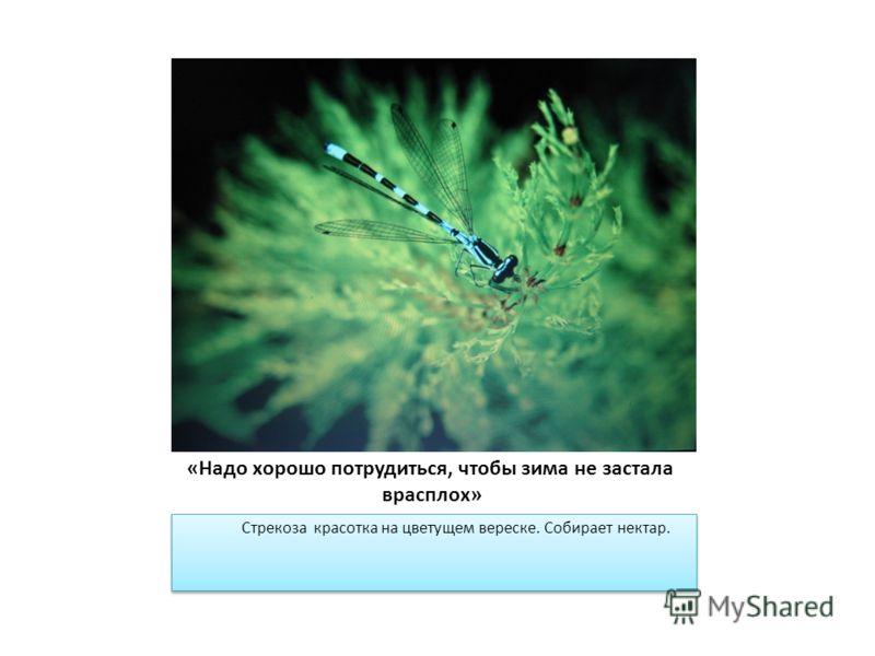 «Надо хорошо потрудиться, чтобы зима не застала врасплох» Стрекоза красотка на цветущем вереске. Собирает нектар.