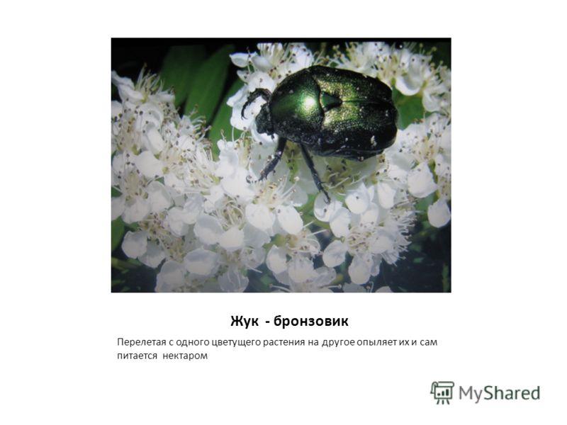 Жук - бронзовик Перелетая с одного цветущего растения на другое опыляет их и сам питается нектаром