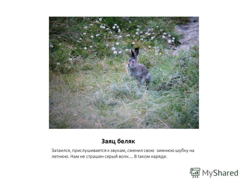 Заяц беляк Затаился, прислушивается к звукам, сменил свою зимнюю шубку на летнюю. Нам не страшен серый волк…. В таком наряде.