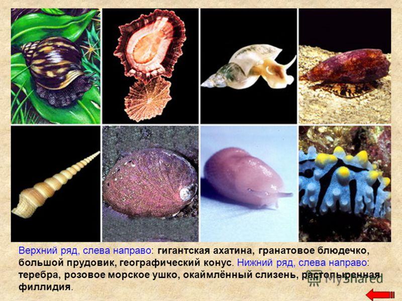 Верхний ряд, слева направо: гигантская ахатина, гранатовое блюдечко, большой прудовик, географический конус. Нижний ряд, слева направо: теребра, розовое морское ушко, окаймлённый слизень, растопыренная филлидия.