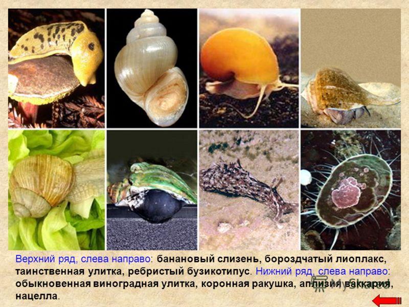 Верхний ряд, слева направо: банановый слизень, бороздчатый лиоплакс, таинственная улитка, ребристый бузикотипус. Нижний ряд, слева направо: обыкновенная виноградная улитка, коронная ракушка, аплизия ваккария, нацелла.