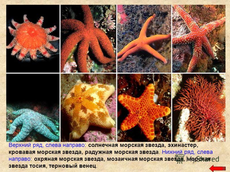 Верхний ряд, слева направо: солнечная морская звезда, эхинастер, кровавая морская звезда, радужная морская звезда. Нижний ряд, слева направо: охряная морская звезда, мозаичная морская звезда, морская звезда тосия, терновый венец.
