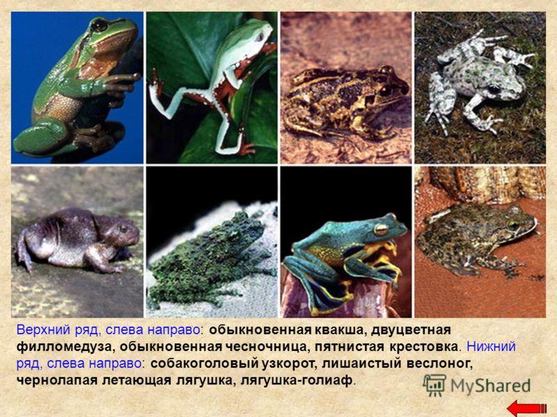Верхний ряд, слева направо: обыкновенная квакша, двуцветная филломедуза, обыкновенная чесночница, пятнистая крестовка. Нижний ряд, слева направо: собакоголовый узкорот, лишаистый веслоног, чернолапая летающая лягушка, лягушка-голиаф.