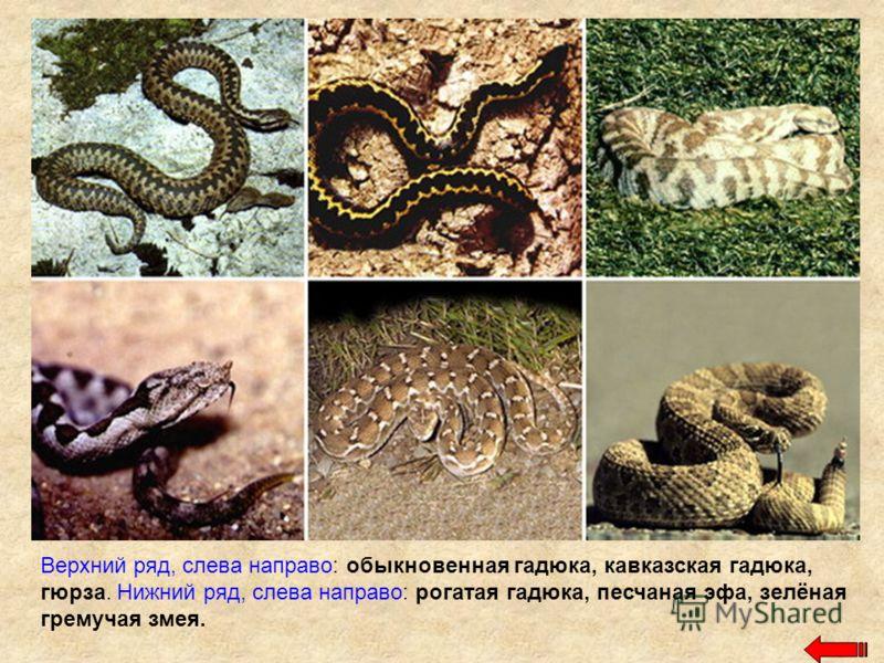 Верхний ряд, слева направо: обыкновенная гадюка, кавказская гадюка, гюрза. Нижний ряд, слева направо: рогатая гадюка, песчаная эфа, зелёная гремучая змея.