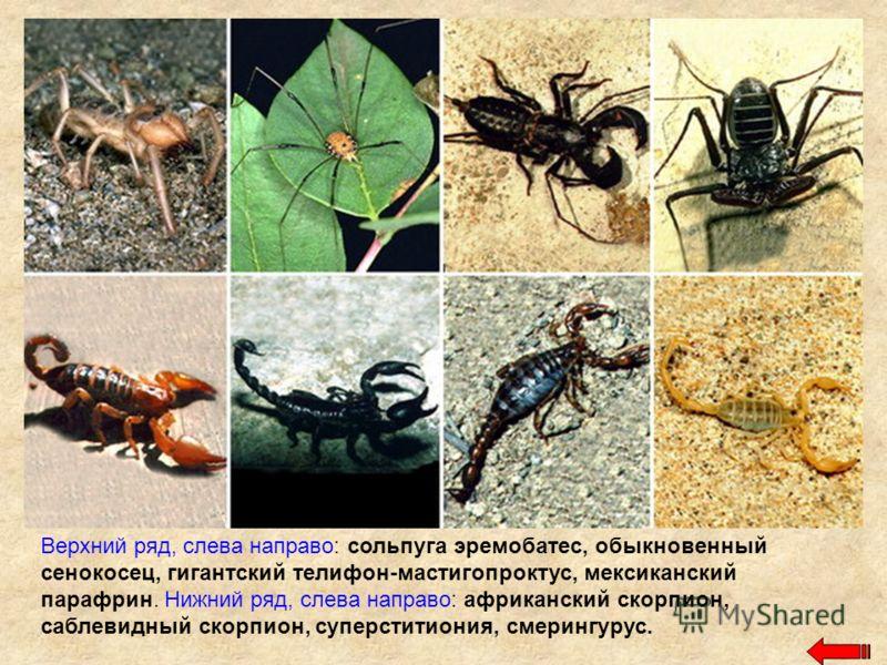 Верхний ряд, слева направо: сольпуга эремобатес, обыкновенный сенокосец, гигантский телифон-мастигопроктус, мексиканский парафрин. Нижний ряд, слева направо: африканский скорпион, саблевидный скорпион, суперститиония, смерингурус.
