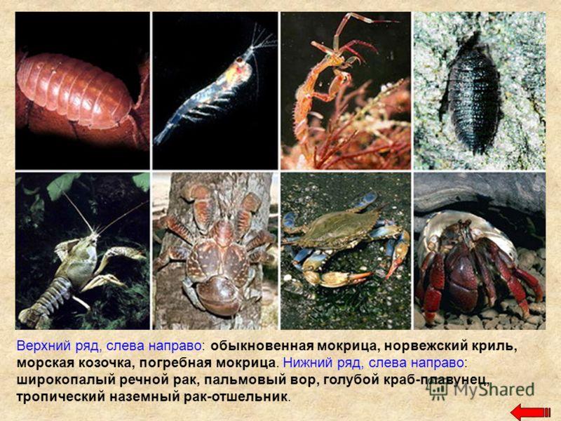 Верхний ряд, слева направо: обыкновенная мокрица, норвежский криль, морская козочка, погребная мокрица. Нижний ряд, слева направо: широкопалый речной рак, пальмовый вор, голубой краб-плавунец, тропический наземный рак-отшельник.
