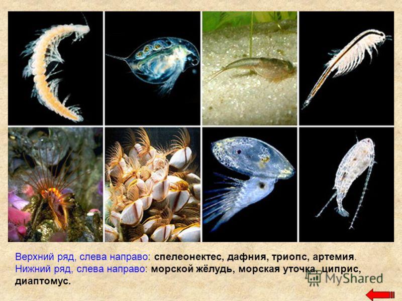 Верхний ряд, слева направо: спелеонектес, дафния, триопс, артемия. Нижний ряд, слева направо: морской жёлудь, морская уточка, циприс, диаптомус.