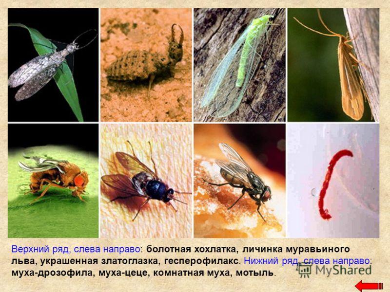 Верхний ряд, слева направо: болотная хохлатка, личинка муравьиного льва, украшенная златоглазка, гесперофилакс. Нижний ряд, слева направо: муха-дрозофила, муха-цеце, комнатная муха, мотыль.