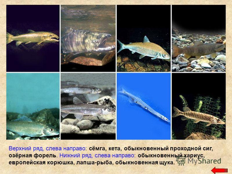 Верхний ряд, слева направо: сёмга, кета, обыкновенный проходной сиг, озёрная форель. Нижний ряд, слева направо: обыкновенный хариус, европейская корюшка, лапша-рыба, обыкновенная щука.