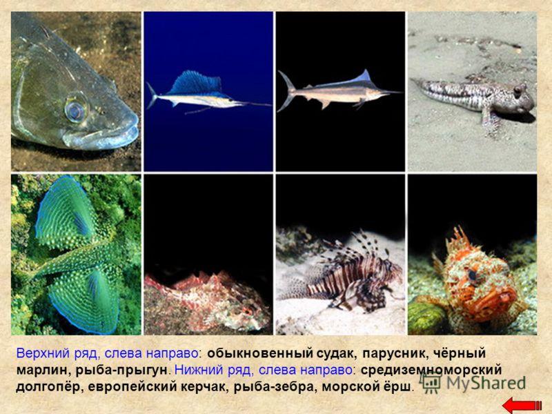 Верхний ряд, слева направо: обыкновенный судак, парусник, чёрный марлин, рыба-прыгун. Нижний ряд, слева направо: средиземноморский долгопёр, европейский керчак, рыба-зебра, морской ёрш.