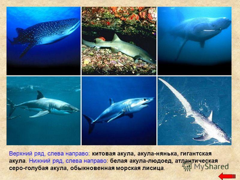 Верхний ряд, слева направо: китовая акула, акула-нянька, гигантская акула. Нижний ряд, слева направо: белая акула-людоед, атлантическая серо-голубая акула, обыкновенная морская лисица.
