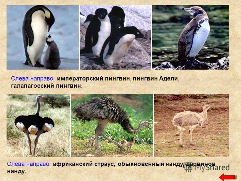 Слева направо: императорский пингвин, пингвин Адели, галапагосский пингвин. Слева направо: африканский страус, обыкновенный нанду, дарвинов нанду.