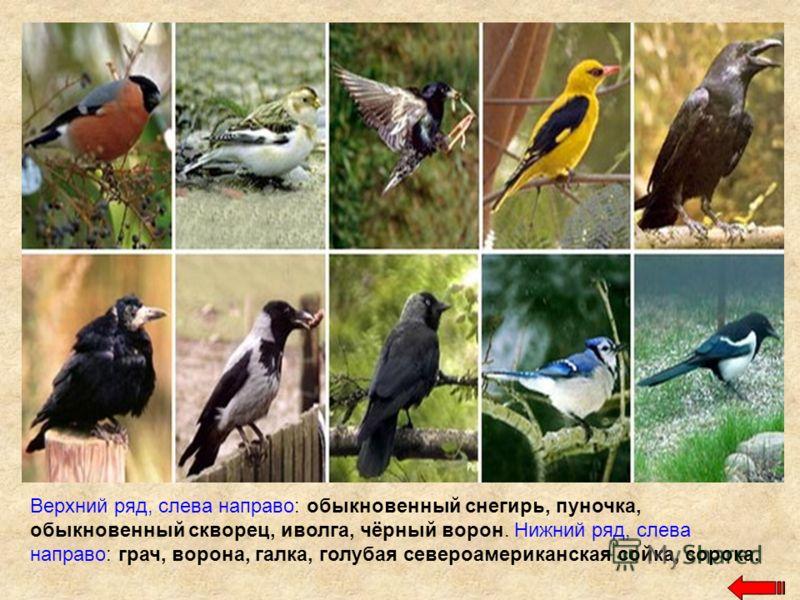 Верхний ряд, слева направо: обыкновенный снегирь, пуночка, обыкновенный скворец, иволга, чёрный ворон. Нижний ряд, слева направо: грач, ворона, галка, голубая североамериканская сойка, сорока.