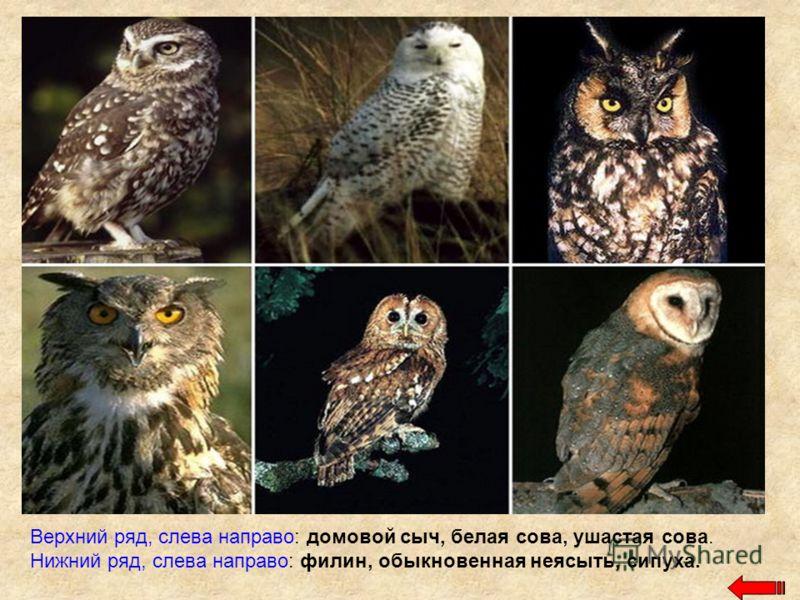 Верхний ряд, слева направо: домовой сыч, белая сова, ушастая сова. Нижний ряд, слева направо: филин, обыкновенная неясыть, сипуха.