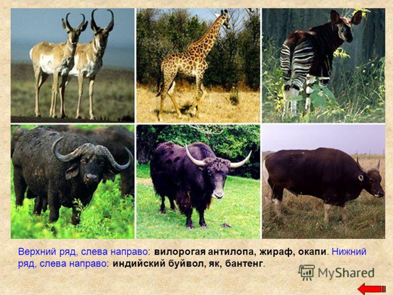 Верхний ряд, слева направо: вилорогая антилопа, жираф, окапи. Нижний ряд, слева направо: индийский буйвол, як, бантенг.