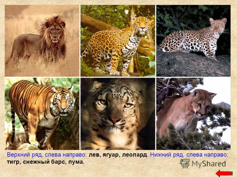 Верхний ряд, слева направо: лев, ягуар, леопард. Нижний ряд, слева направо: тигр, снежный барс, пума.