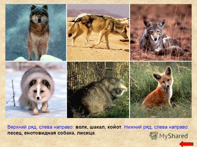 Верхний ряд, слева направо: волк, шакал, койот. Нижний ряд, слева направо: песец, енотовидная собака, лисица.