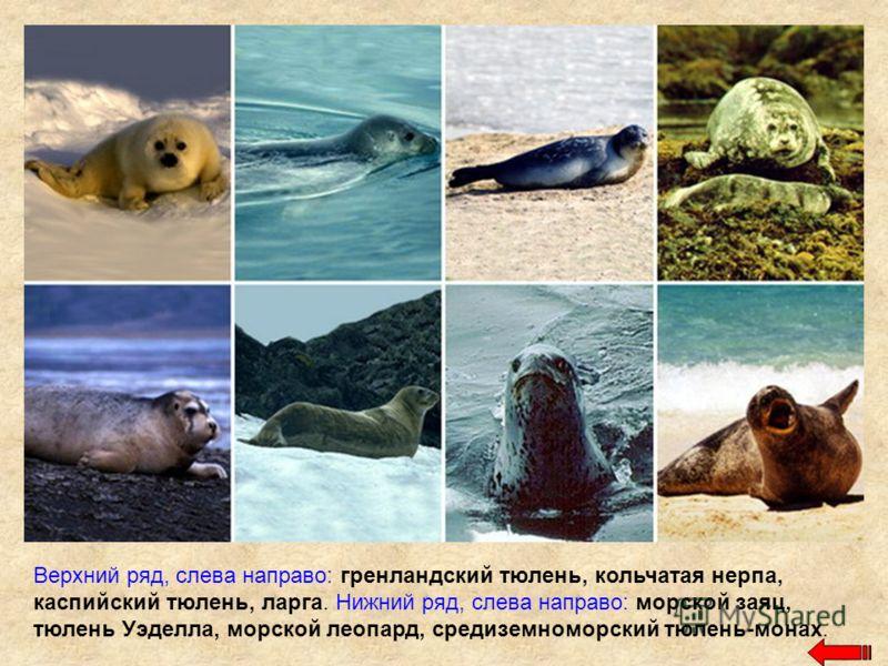 Верхний ряд, слева направо: гренландский тюлень, кольчатая нерпа, каспийский тюлень, ларга. Нижний ряд, слева направо: морской заяц, тюлень Уэделла, морской леопард, средиземноморский тюлень-монах.