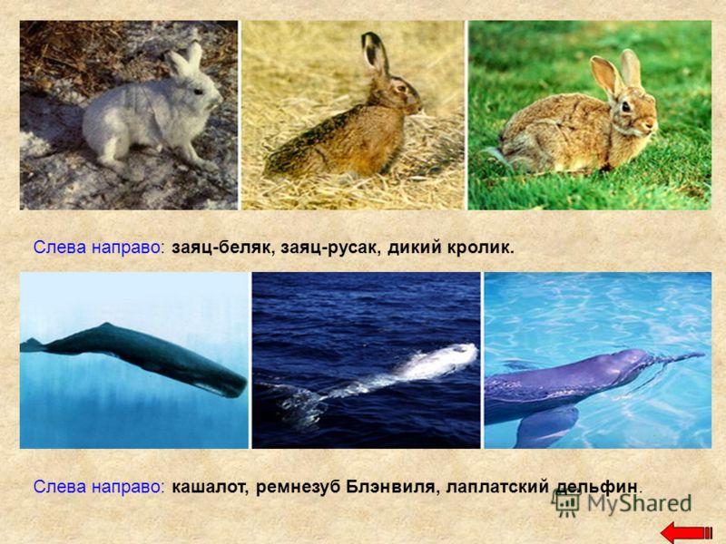 Слева направо: заяц-беляк, заяц-русак, дикий кролик. Слева направо: кашалот, ремнезуб Блэнвиля, лаплатский дельфин.