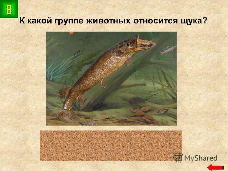 К какой группе животных относится щука? рыбы