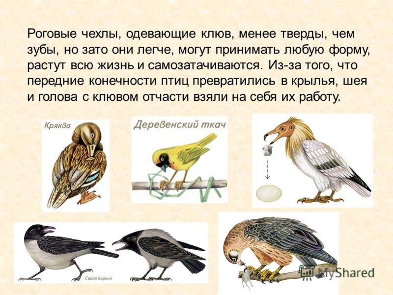 Роговые чехлы, одевающие клюв, менее тверды, чем зубы, но зато они легче, могут принимать любую форму, растут всю жизнь и самозатачиваются. Из-за того, что передние конечности птиц превратились в крылья, шея и голова с клювом отчасти взяли на себя их