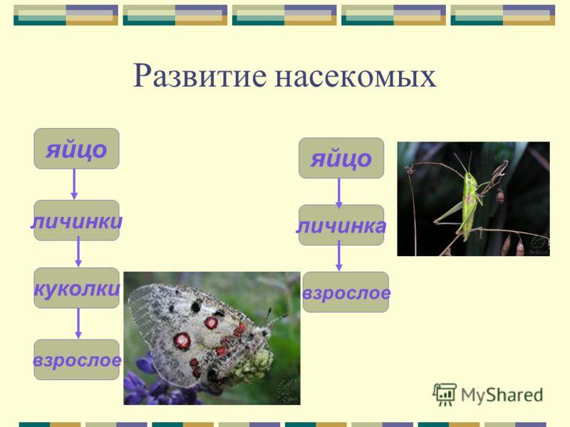 Развитие насекомых личинка яйцо личинки яйцо куколки взрослое