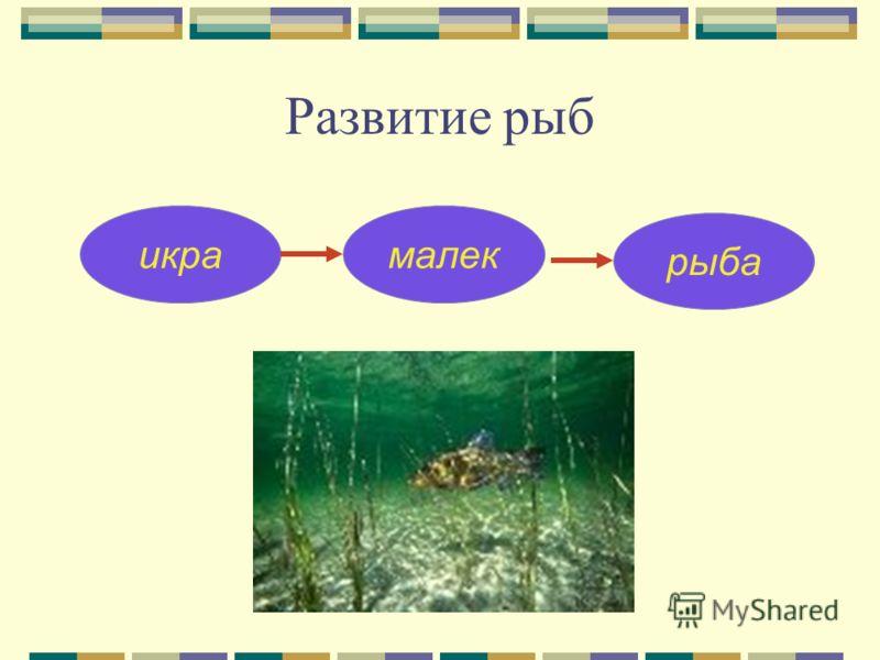 Развитие рыб икрамалек рыба