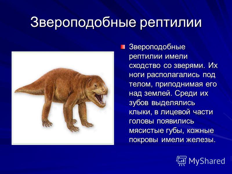 Звероподобные рептилии Звероподобные рептилии имели сходство со зверями. Их ноги располагались под телом, приподнимая его над землей. Среди их зубов выделялись клыки, в лицевой части головы появились мясистые губы, кожные покровы имели железы.