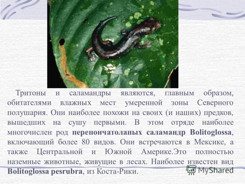 Тритоны и саламандры являются, главным образом, обитателями влажных мест умеренной зоны Северного полушария. Они наиболее похожи на своих (и наших) предков, вышедших на сушу первыми. В этом отряде наиболее многочислен род перепончатолапых саламандр B