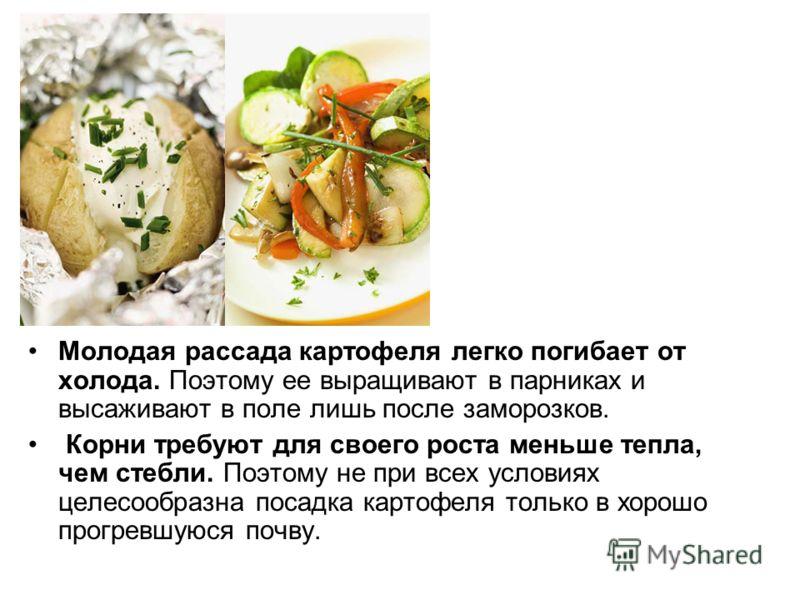 Молодая рассада картофеля легко погибает от холода. Поэтому ее выращивают в парниках и высаживают в поле лишь после заморозков. Корни требуют для своего роста меньше тепла, чем стебли. Поэтому не при всех условиях целесообразна посадка картофеля толь