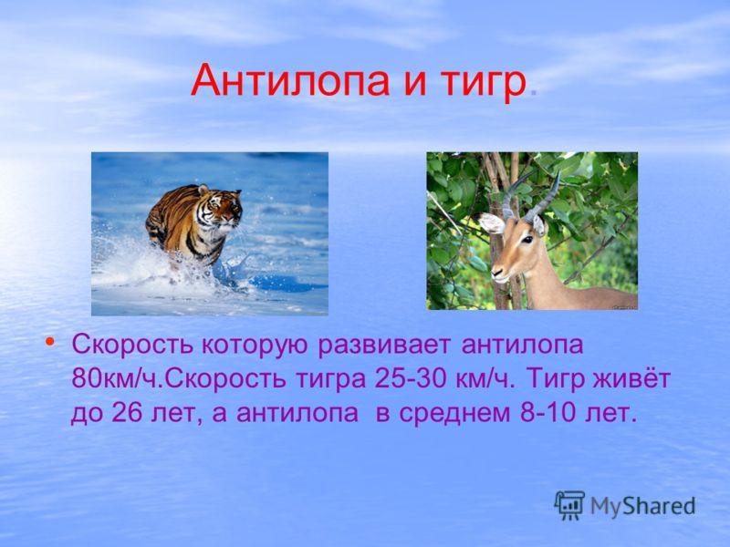 Антилопа и тигр. Скорость которую развивает антилопа 80км/ч.Скорость тигра 25-30 км/ч. Тигр живёт до 26 лет, а антилопа в среднем 8-10 лет.