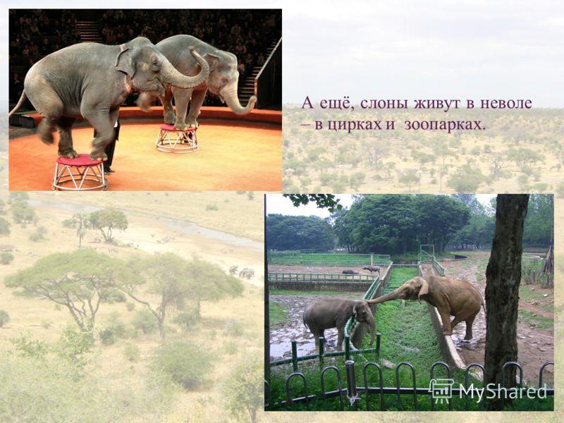 10 А ещё, слоны живут в неволе – в цирках и зоопарках.
