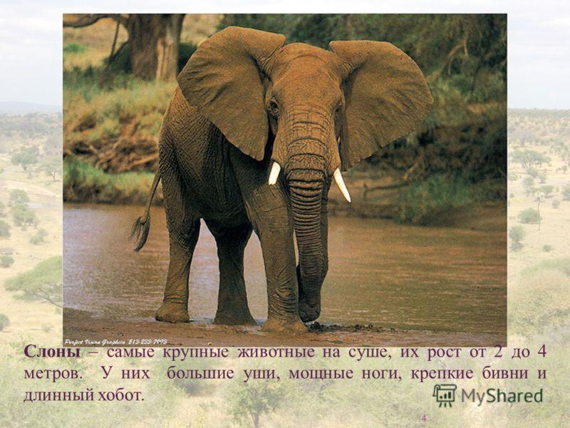 4 Слоны – самые крупные животные на суше, их рост от 2 до 4 метров. У них большие уши, мощные ноги, крепкие бивни и длинный хобот.