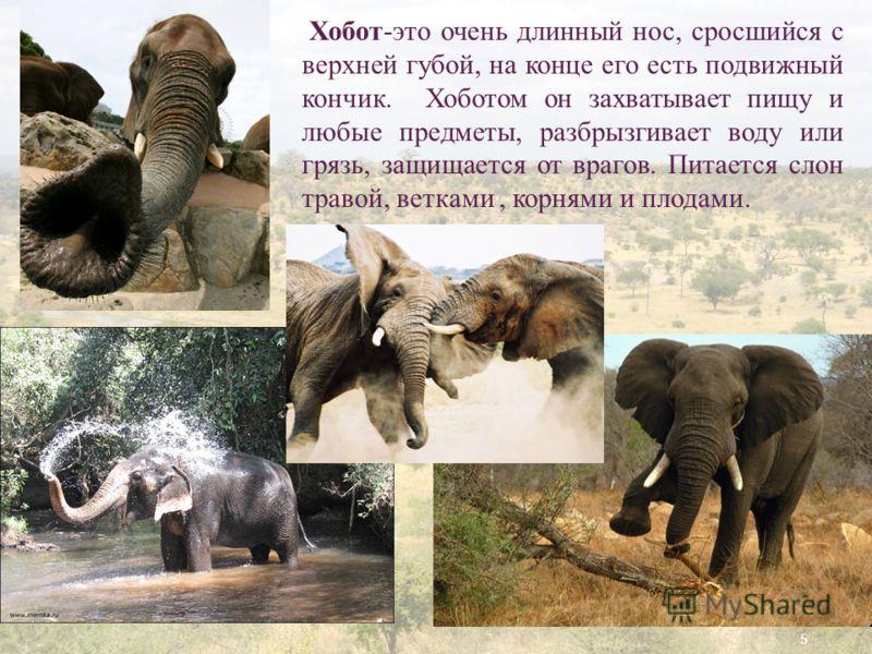 5 Хобот-это очень длинный нос, сросшийся с верхней губой, на конце его есть подвижный кончик. Хоботом он захватывает пищу и любые предметы, разбрызгивает воду или грязь, защищается от врагов. Питается слон травой, ветками, корнями и плодами.