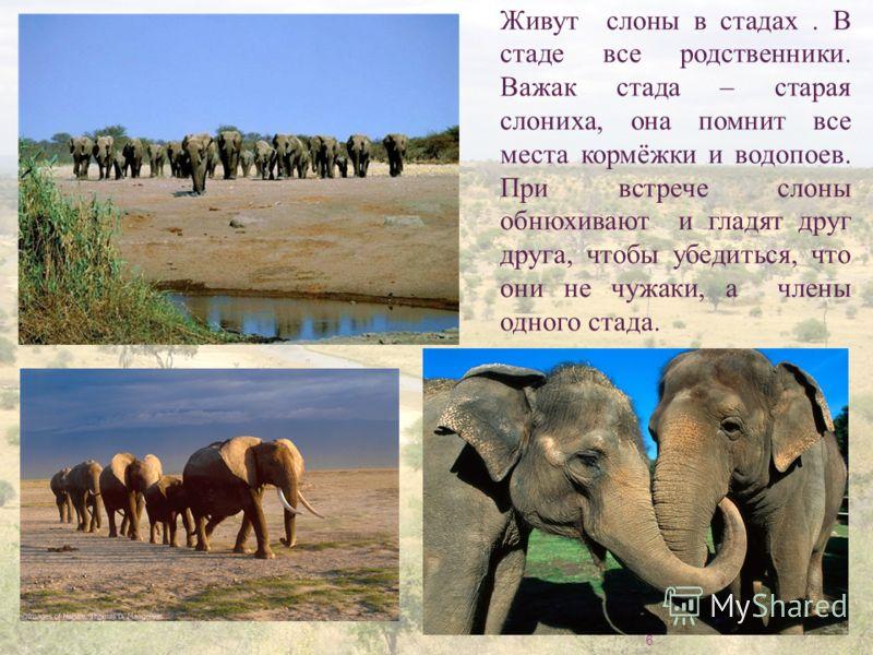 6 Живут слоны в стадах. В стаде все родственники. Важак стада – старая слониха, она помнит все места кормёжки и водопоев. При встрече слоны обнюхивают и гладят друг друга, чтобы убедиться, что они не чужаки, а члены одного стада.