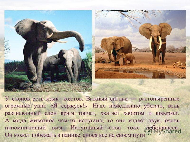 8 У слонов есть язык жестов. Важный сигнал растопыренные огромные уши: «Я сержусь!». Надо немедленно убегать, ведь разгневанный слон врага топчет, хватает хоботом и швыряет. А когда животное чем-то испугано, то оно издает звук, очень напоминающий виз