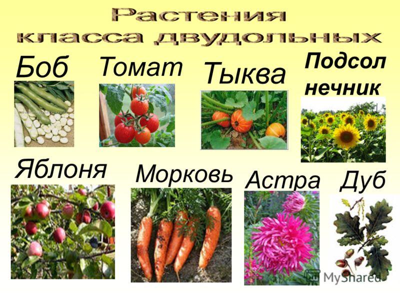 Боб Томат Тыква Подсол нечник Яблоня Морковь Астра Дуб