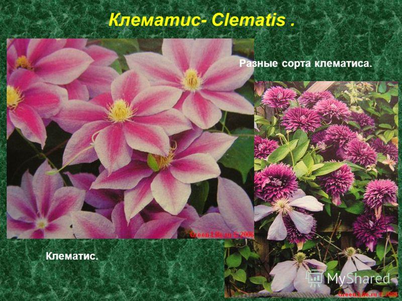 Клематис- Clematis. Клематис. Разные сорта клематиса.
