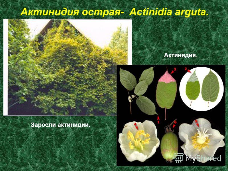 Актинидия острая- Actinidia arguta. Заросли актинидии. Актинидия.